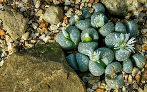 An Overview of the Lithops Living Stone Plant