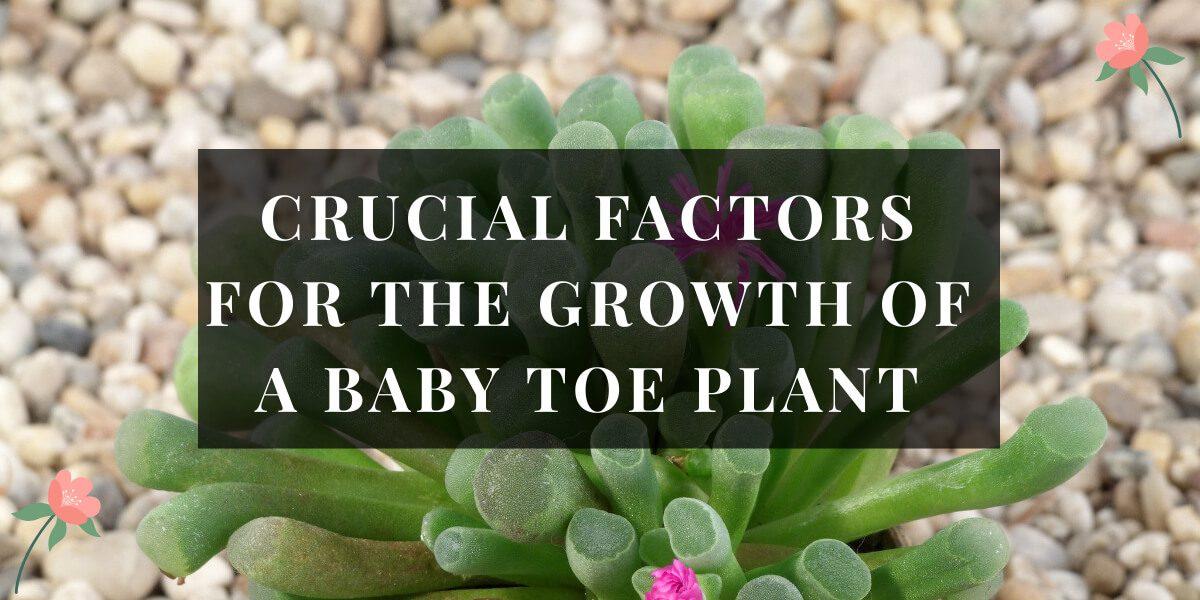 Baby Toe Plant