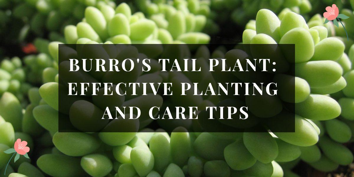 Burros Tail Plant