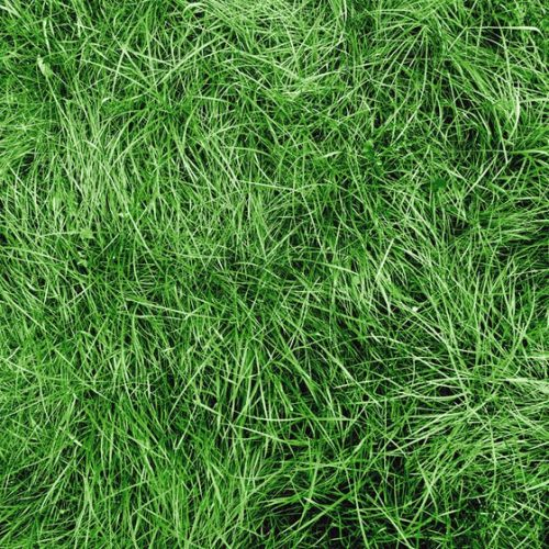 Chewing Fescue Grass