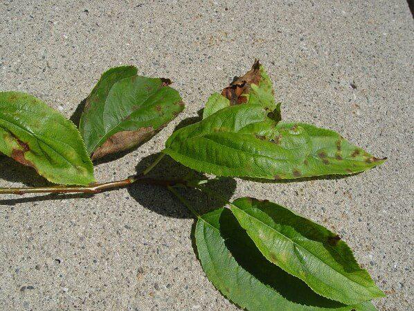 Crabapple Disease