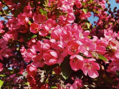 Crabapple Flower Color
