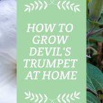 Devils Trumpet