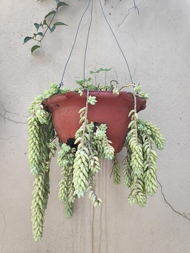 Donkey Tail Plant Container