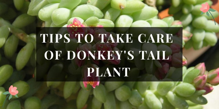 Donkey's tail plant