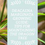 Dracaena Marginata Growing Guide
