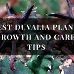 Duvalia Plant