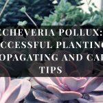 Echeveria Pollux Plant