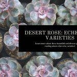 Echeveria Varieties