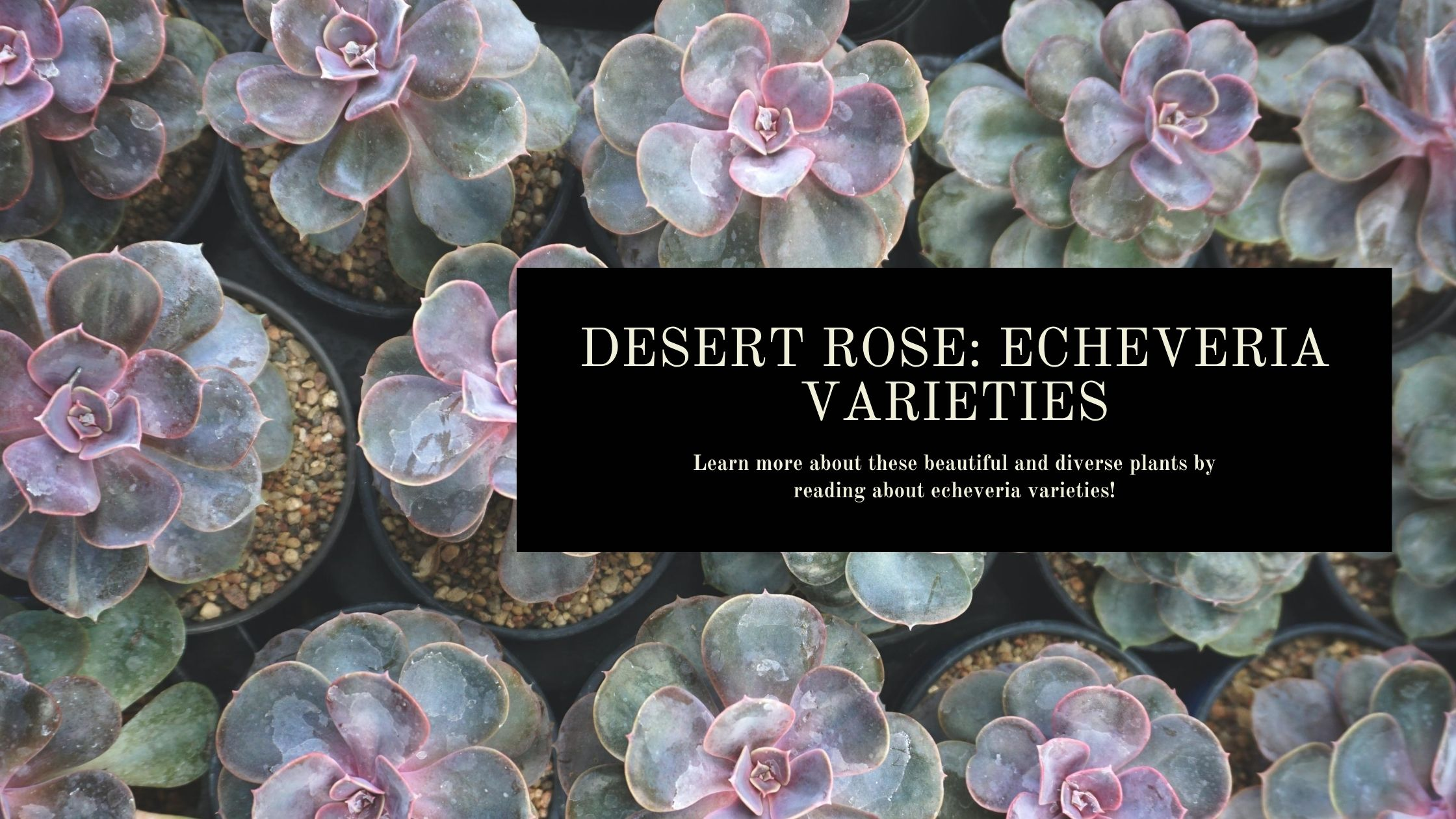 Echeveria Varieties