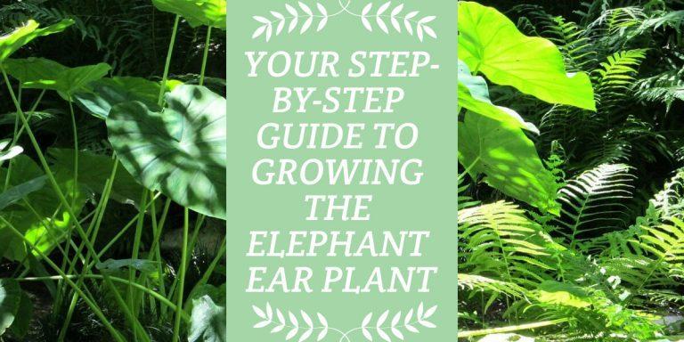 Elephant Ear Plant
