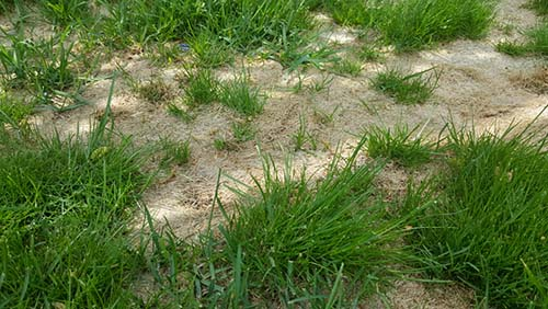 Fescue Weed and Disease