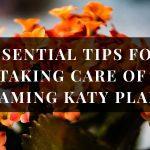 Flaming Katty plant