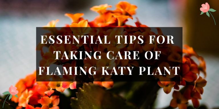 Flaming Katty plant