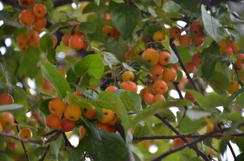 Growing a Crabapple Plant