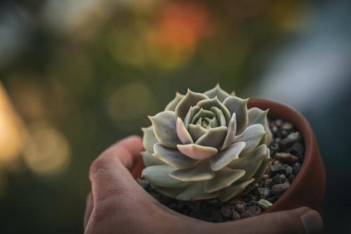 Growing tips for Echeveria Pollux plant