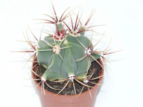 Growth of Ferocactus Plant