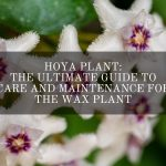 Hoya Plant - the Wax Plant