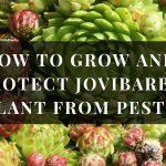 Jovibarba plant