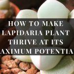 Lapidaria plant