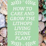 Lithops Living Stone Plant