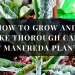 Manfreda plant