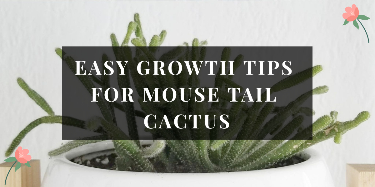 Mouse Tail Cactus