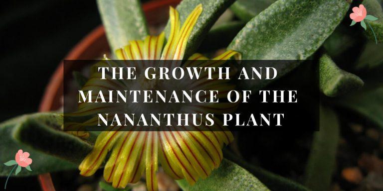 Nananthus Plant