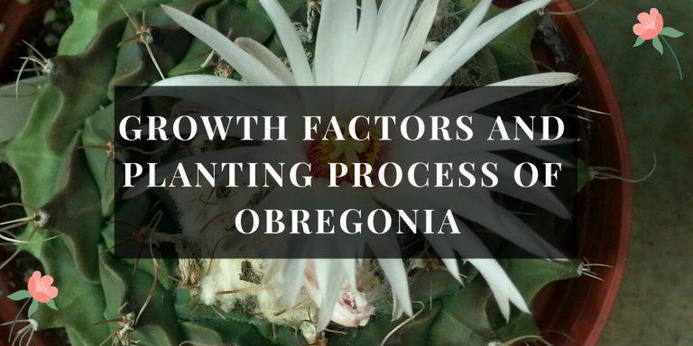 Obregonia Plant