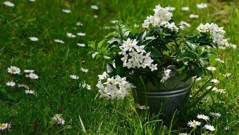 Planting the Jasmine Plant
