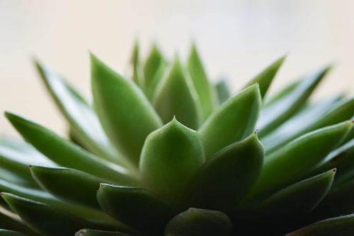 Repotting And Propagating Haworthia Plant