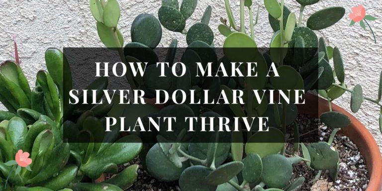 Silver Dollar Vine