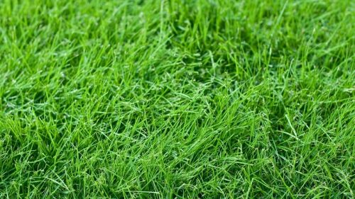 Tall Fescue Grass