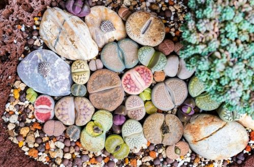 The Different Types of Lithops Plant