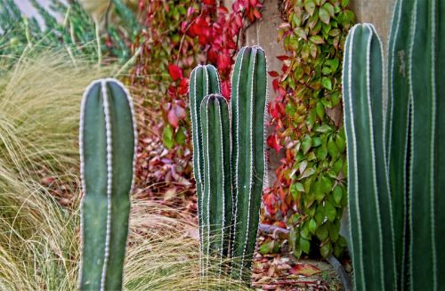 Tips to grow Mexican Fencepost Cactus