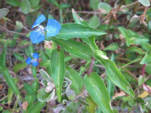 Wandering Jew Plant Propagation