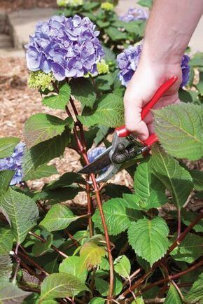 When to Plant a Hydrangea Tree