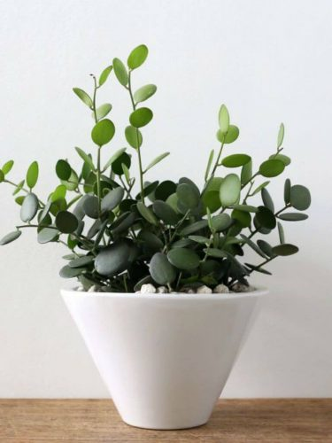 Where to Buy Silver Dollar Vine Plant