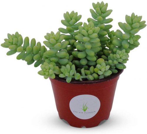 buy Donkey's tail plant