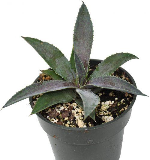 buy Manfreda plant