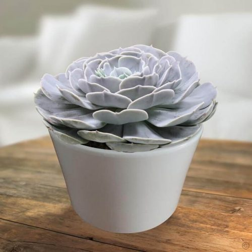care for Echeveria Pollux Plant