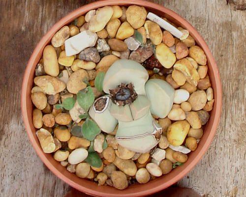 make Lapidaria plant thrive