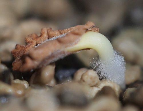 repotting of Rhytidocaulon Macrolobum