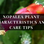 Nopalea Plant