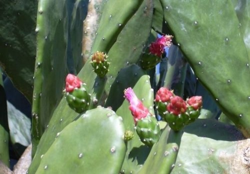 Propagation of Nopalea Plant